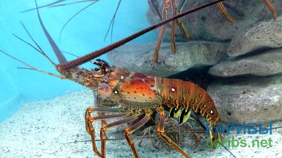 Рак в океанариуме Пуэрто Плата