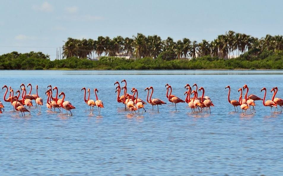 Анегада фламинго