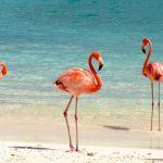 Фламинго на плаже Багамы