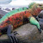 Природа Барбадоса, игуаны
