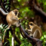 Барбадос, самые разные обезьяны