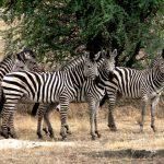Барбадос, зебры