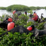 Природа Барбуды, птицы-фрегаты