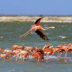 Фламинго на Бонэйро