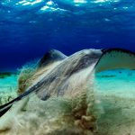 Grand-Cayman скаты