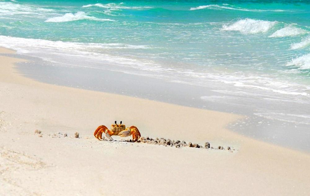 Бегающие по пляжу Sent-Tomas крабики с глазками-антеннами